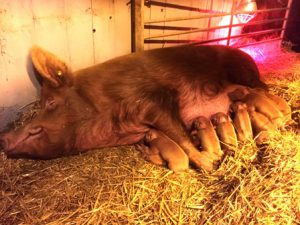This litter of 10 piglets also arrived in January 2017